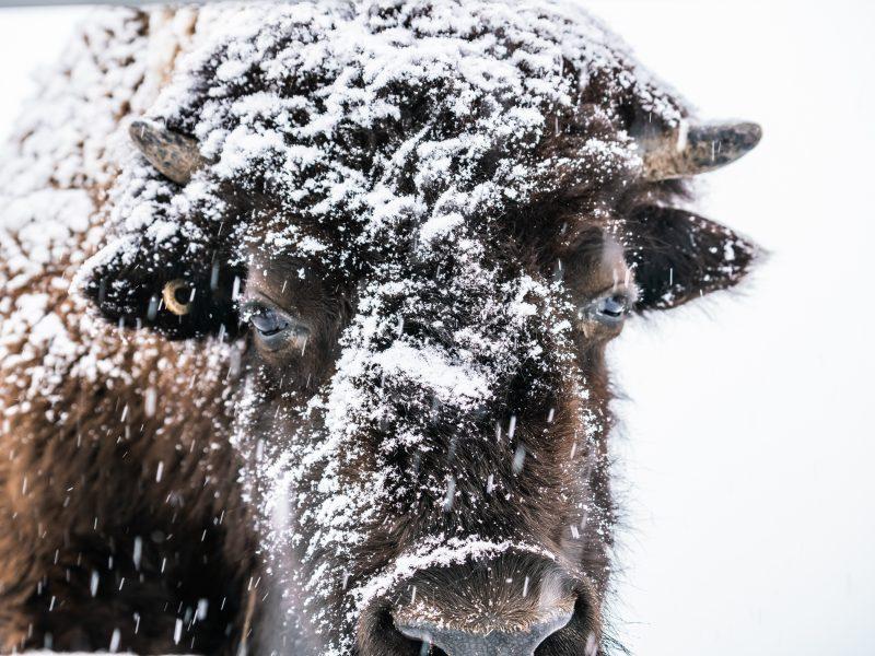 La Terre des Bisons - Nathalie Photographie