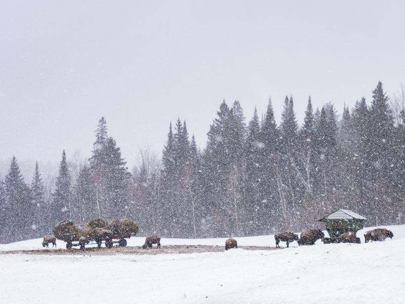 La Terre des Bisons - Troupeau - Nathalie Photographie