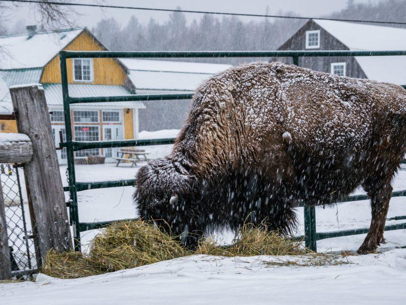 La Terre des Bisons, Rawdon - Nathalie Photographie